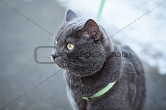 russian blue cat outdoors in harness