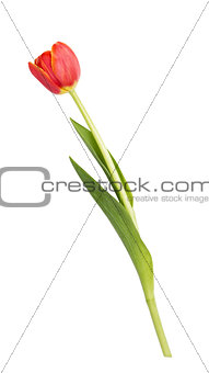 beautiful single tulip