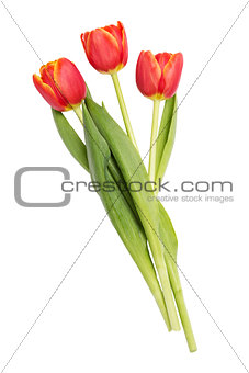 three beautiful tulips