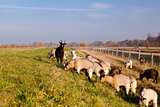 herd of goats outdoors