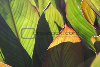 Green leaves - as the background and texture
