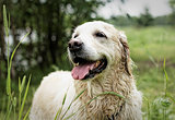 Golden Retriever, female, eight years old, after swimming.