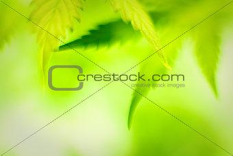 Cannabis leafs, defocused abstract shot.
