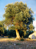 olive tree in a hill of Apulia