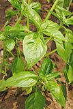 twig of basil