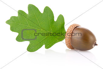 acorn with green leaf