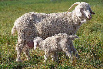 angora goat and kid