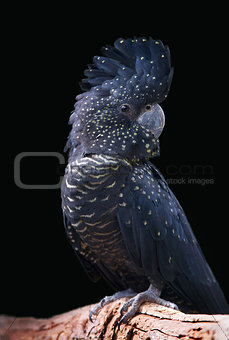 black cockatoo portrait