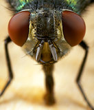 house fly