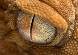 gecko eye up close