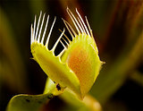 venus flytrap