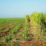 sugar cane field, Ren Fraga, Cuba