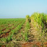 sugar cane field, René Fraga, Cuba