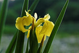 Yellow iris horizontal