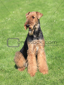 Airedale Terrier in the garden