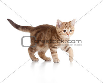 A playful kitten. Brittish breed. Tabby.