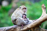 whild mother monkey and her baby