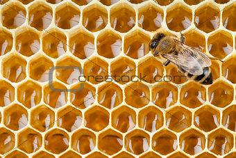 bee macro shot collecting honey in honeycomb