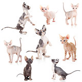 hairless Canadian and Don sphynx kittens set