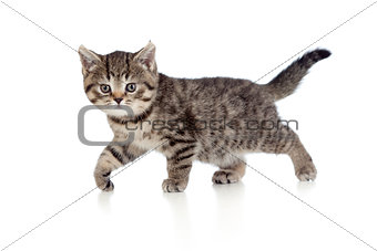A playful kitten. British breed. Tabby.