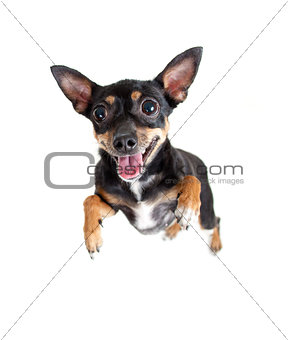 jumping flying toy terrier dog or top view