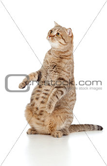 Pregnant cat with nice belly sitting isolated on white