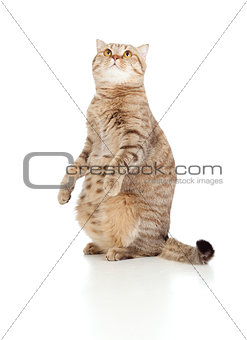 Pregnant cat with nice belly sitting and looking upward isolated