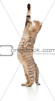 Pregnant cat looking upward isolated on white