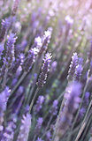 flowers of lavender