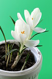 spring flowers snowdrops (crocus) in a white pot