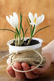 spring flowers snowdrops (crocus) in male hands