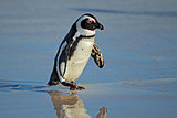 African penguin