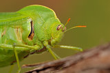 Bladder grasshopper