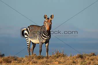 Cape Mountain Zebra