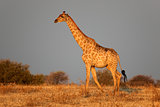 Etosha giraffe
