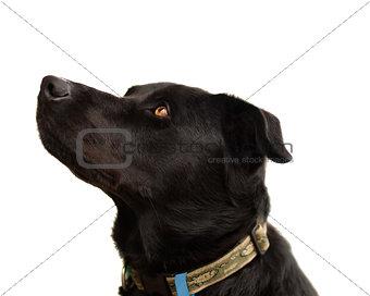 Australian pure bred kelpie black dog