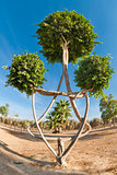 Ornamental tree form the Star of David.