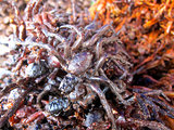 Fried spider