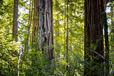 Sunlit California Sequoia Redwood Pine Trees