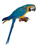 Blue Parrot
