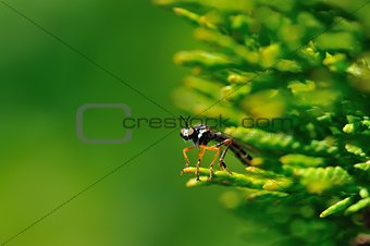 Red legged fly