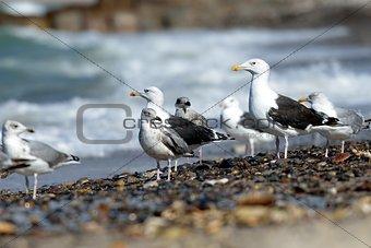 Black-backed gulls on the beach