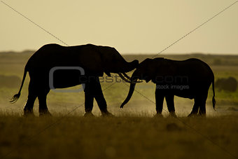 Two Elephants seen Backlit