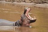 Hippopotamus roaring