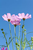 Pink Cosmos flowers with buds