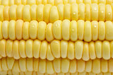 The Close-up of Corn