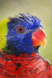 Lorikeet with a Red Beak
