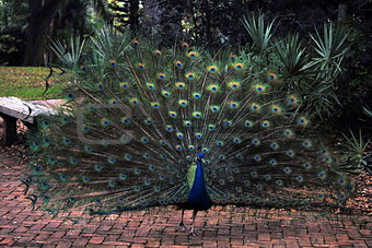 A Peacock with fanned open  Plumage strutting along.