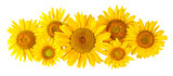 Flowers sunflower