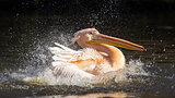 Pelican taking a refreshing